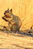 A Squirrel taken Sep. 8, 2011 near Fruita, CO.