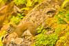 A squirrel taken Aug. 25, 2001 near Grand Mesa, CO.