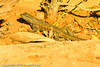A Lizard taken Oct. 17, 2011 at the Colorado National Monument near Fruita, CO.