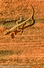 A lizard taken Oct. 17, 2011 in the Colorado National Monument near Fruita, CO.