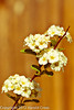 Spirea flowers taken May 8, 2012 in Fruita, CO.