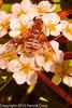 A Bee on Spirea flowers taken May 14, 2012 in Fruita, CO.