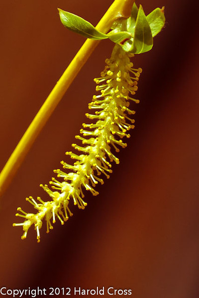 A Weeping Willow Flower taken Mar. 29, 2012 in Fruita, CO.