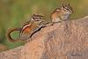 Squirrels taken Sep 5, 2010 near Cimmaron, CO.
