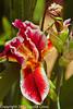 An Iris taken May 7, 2012 in Fruita, CO.