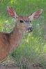 A deer taken Jun 15, 2010 near Cimmaron, CO.