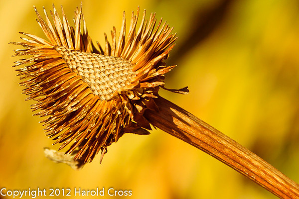 A dried flower head taken Apr. 7, 2012 in Fruita, CO.  I found it in this state.  The scratches on the stem suggest that birds have been feeding on it.
