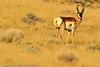 An Antelope taken Oct. 12, 2011 near Fruita, CO.
