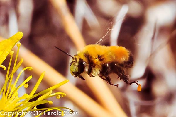 A Bee taken May 24, 2012 near Fruita, CO.
