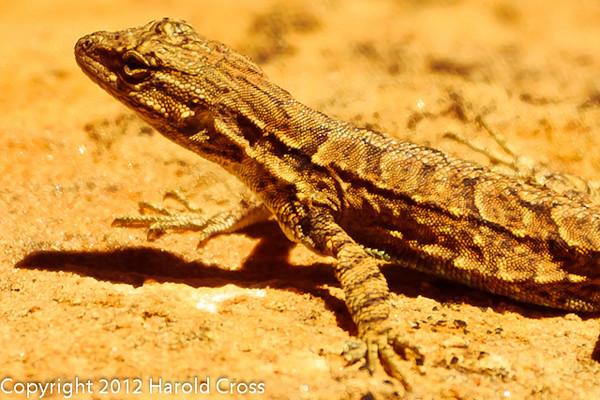A Lizard  taken Apr. 21, 2012 on the Colorado National Monument near Fruita, CO.