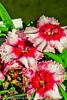 Dianthus flowers taken May 14, 2012 in Fruita, CO.