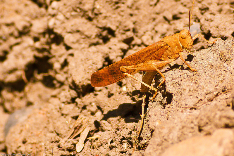 A grasshopper taken Aug. 11, 2011 in Grand Junction, CO.