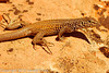 A Lizard  taken Apr. 21, 2012 on the Colorado National Monument near Fruita, CO.