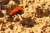 A Velvet Ant taken Aug. 16, 2011 near Fruita, CO.
