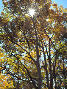 The back-lit aspen trees seem to glow in the noon day sun.