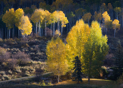 Aspens at Sunrise