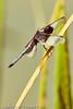 A dragonfly taken Sep. 7, 2011 near Fruita, CO.