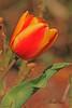 A tulip taken April 15, 2011 near Fruita, CO.