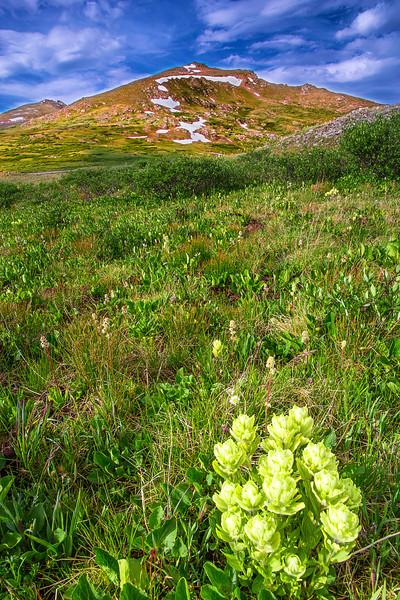 Colorado, Aspen, Independence Pass, Wild Flowers