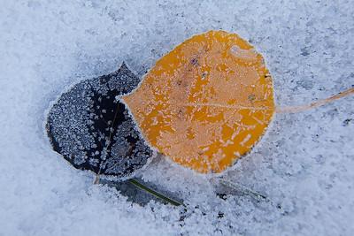 Aspen Leaves on Snow