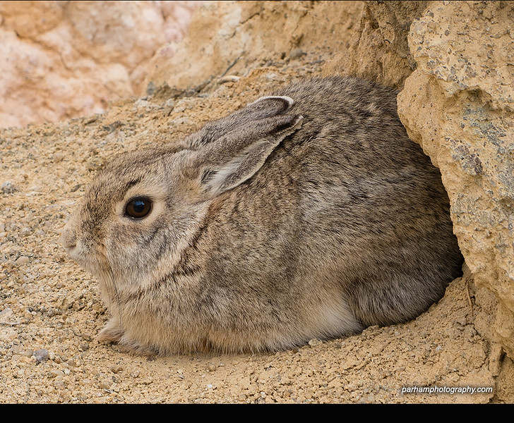 Cottontail at Paint Mines (EP-17037)