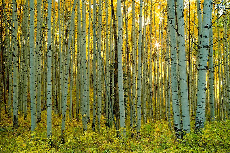 (WC-0325) Autumn aspen forest in late afternoon - Gunnison National Forest