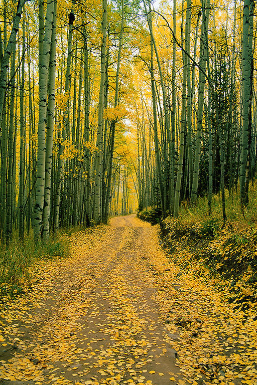 (A075)  Carpet of aspen leaves on country road near Snowmass.