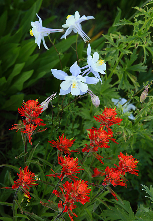 (WC-09005)  Blue Columbine and Indian Paintbrush in Gunnison National Forest.