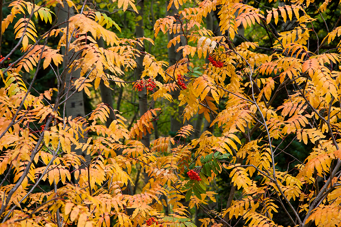 (WC-08101)  Greene Mountain-Ash in autumn; White River National Forest