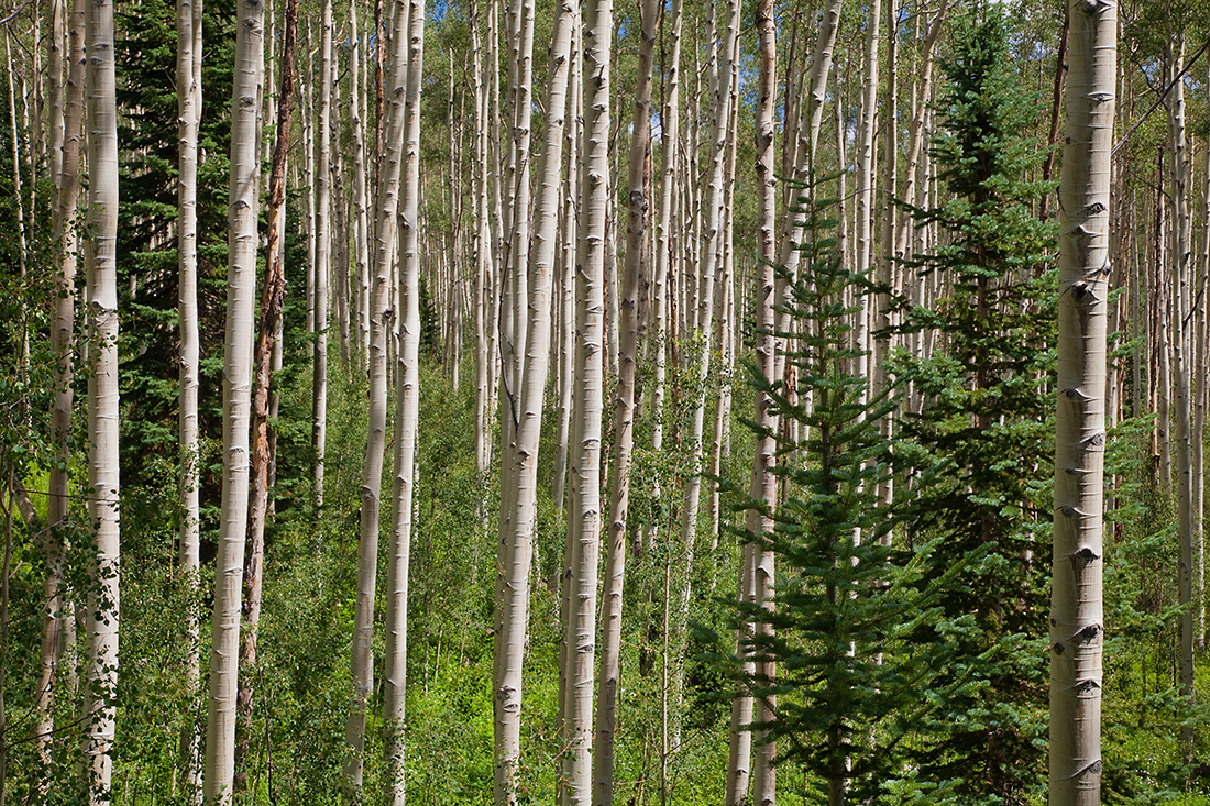(MB-10081)  Summer aspens along the Cathedral Lake Trail in White River National Forest.