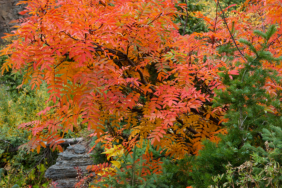 (WC-08114)  Greene Mountain-Ash and spruce - autumn in White River National Forest.