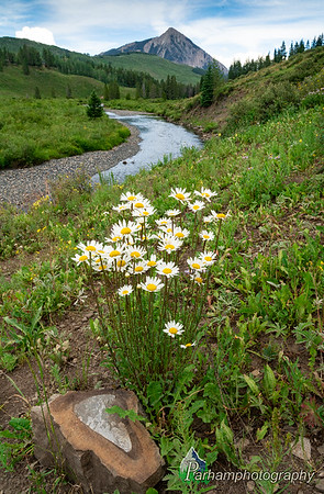 Crested Butte Daisies  (WC-20637)