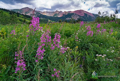 Fireweed below Schofield Pass  (WC-20601)