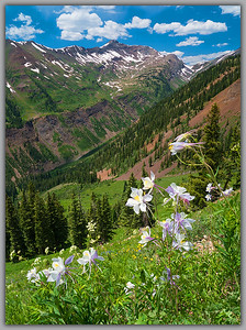 Columbine in Paradise Basin near Crested Butte  (WC-18525-26)