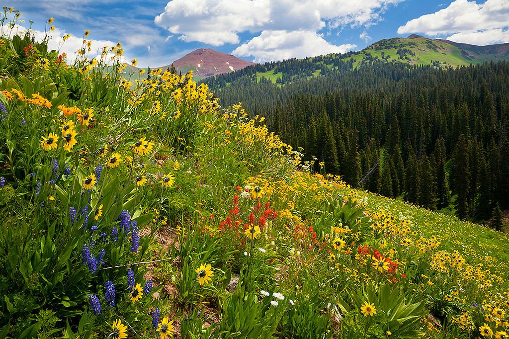 (WC-09040-41)  Wildflower meadow below West Maroon Pass; Gunnison National Forest.