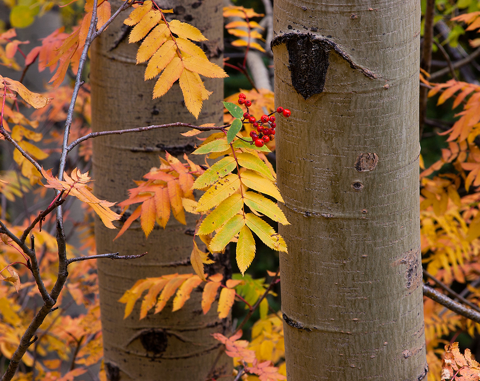 (WC-08103)  Aspen and Greene Mountain-Ash in autumn; White River National Forest.