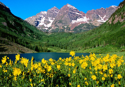 (MB-0509)  Yellow Arnica beneath the Maroon Bells near Aspen