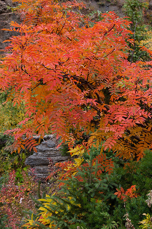 (WC-08117)  Greene Mountain-Ash and spruce - autumn in White River National Forest.