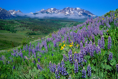 (I043) Alpine Lupine and Gore Range