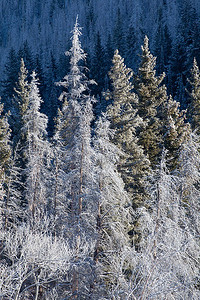 (MG-0635)  Frosted Firs - Williams Fork Mountains