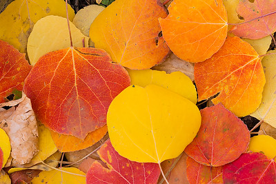 Autumn Aspen Leaves  (PP-16640)
