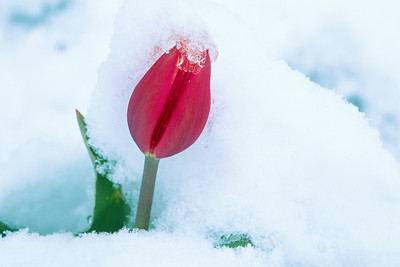 (A085)  Tulip in the snow - Colorado Springs