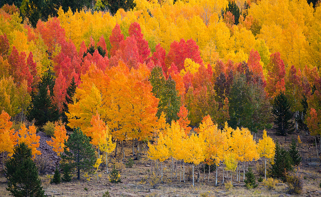 (PP-16635)  Autumn Aspens near Victor