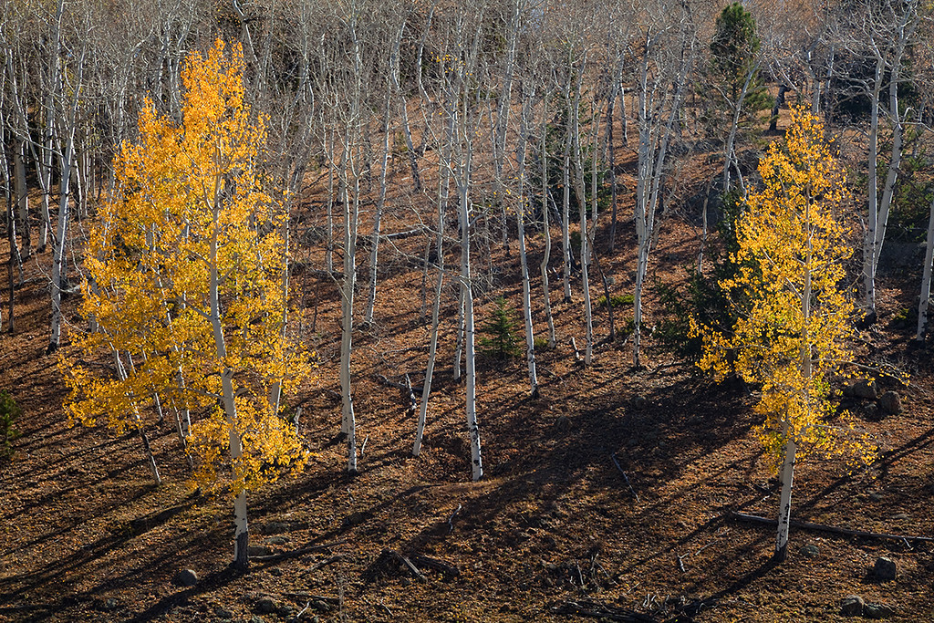 "(PP-10045)  ""The Holdouts"" - Autumn Aspens in Pike National Forest"