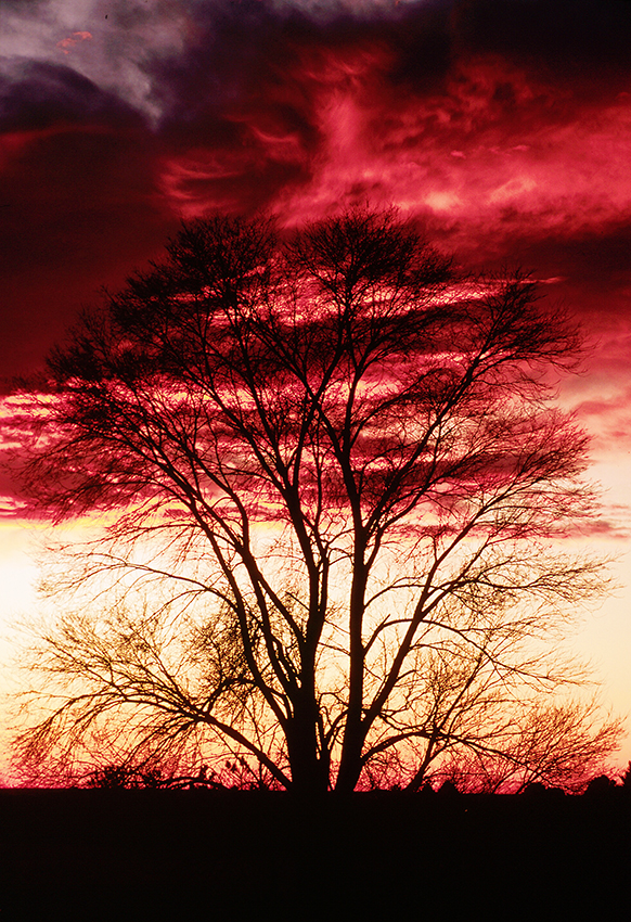 "(A039)  ""Fire in the Sky"" - tree at sunrise near Garden of the Gods"