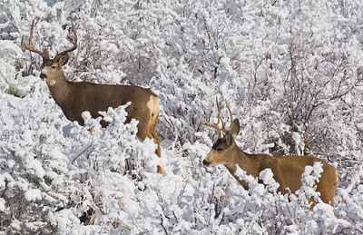 (DA-15350)  Mule Deer Bucks in Garden of the Gods