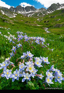 Blue Columbine in American Basin  (SJ-16134-5)