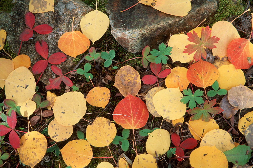 (E038)  Autumn aspen leaves adorn the ground near South Mineral Creek in San Juan National Forest.