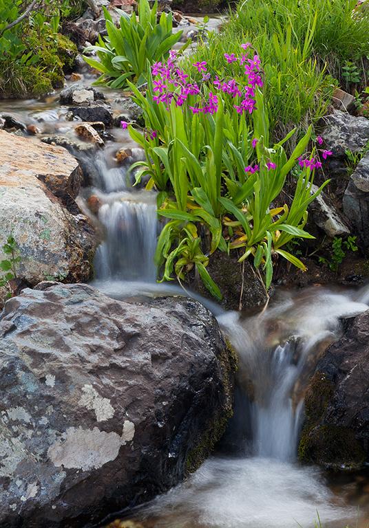 (SJ-09014)  Parry's Primrose beside small stream on Black Bear Pass.
