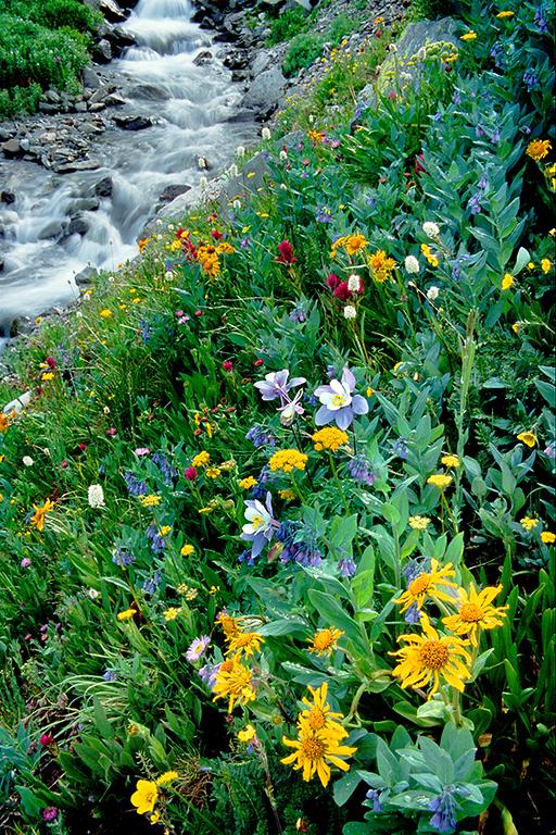 (J035)  Wildflowers along Sneffels Creek.